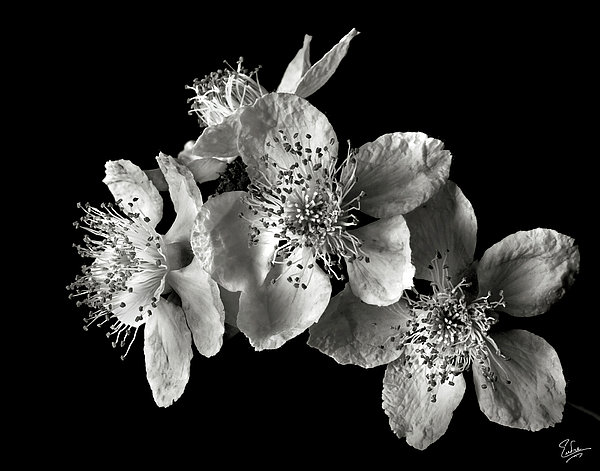 Blackberry Flowers In Black And White Photograph  - Blackberry Flowers In Black And White Fine Art Print