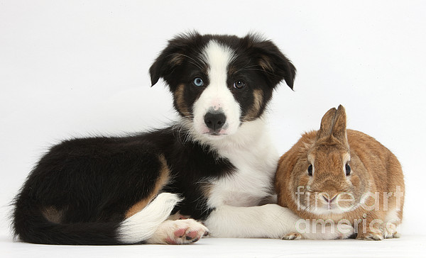 Tricolor Border Collie Pup Photograph - Border Collie Pup And Netherland-cross by Mark Taylor