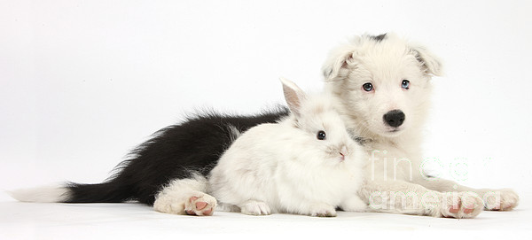 Nature  - Border Collie Puppy With Baby Rabbit by Mark Taylor