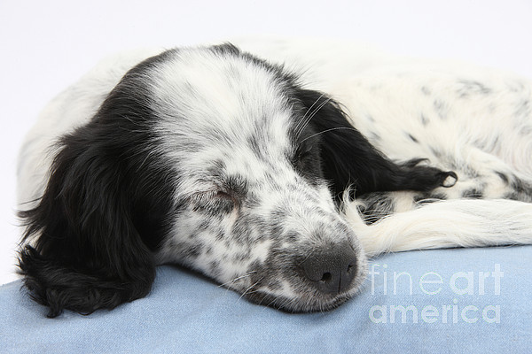 Nature Photograph - Border Collie X Cocker Sleeping Puppy by Mark Taylor