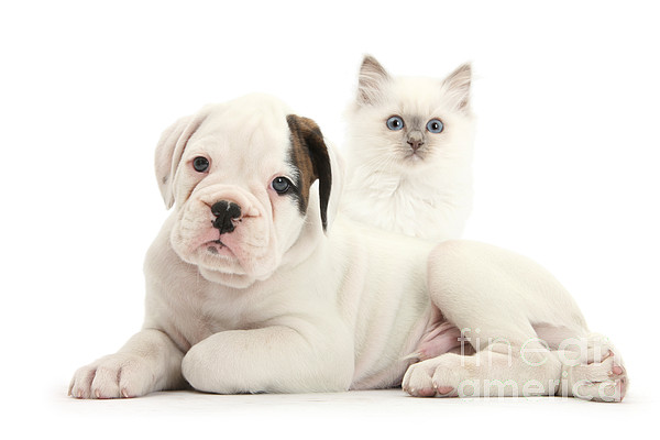 Nature Photograph - Boxer Puppy And Blue-point Kitten by Mark Taylor