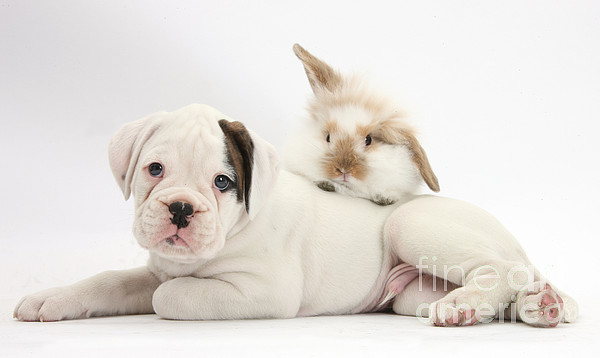 Nature Photograph - Boxer Puppy And Young Fluffy Rabbit by Mark Taylor