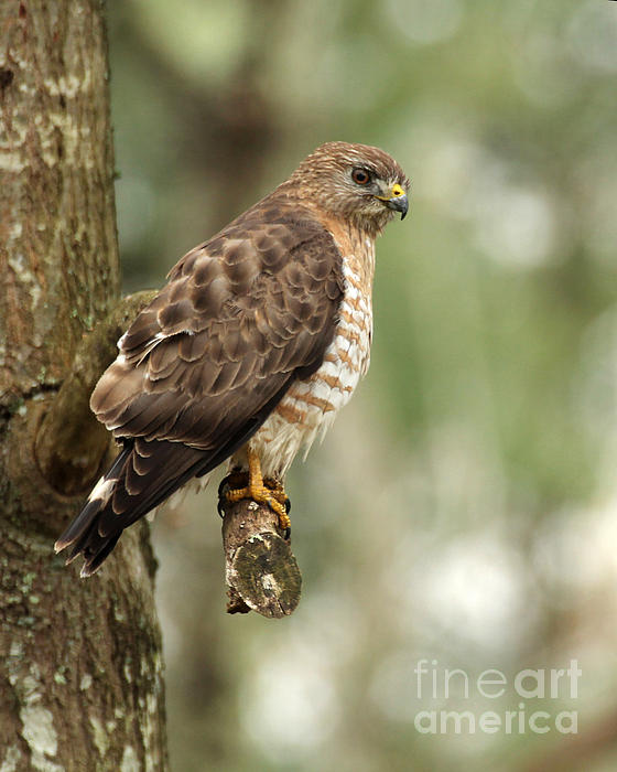 Deborah  Smith - Broad-winged Hawk
