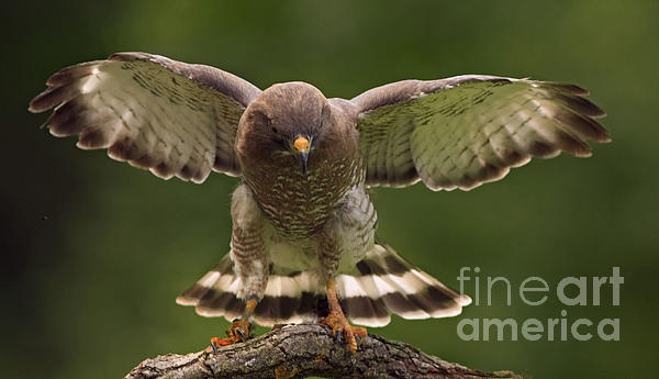 Inspired Nature Photography By Shelley Myke - Broad Winged Hawk