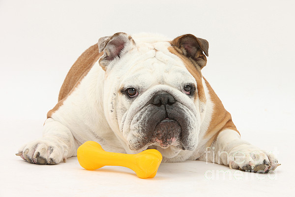 Dog Photograph - Bulldog With Plastic Chew Toy by Mark Taylor
