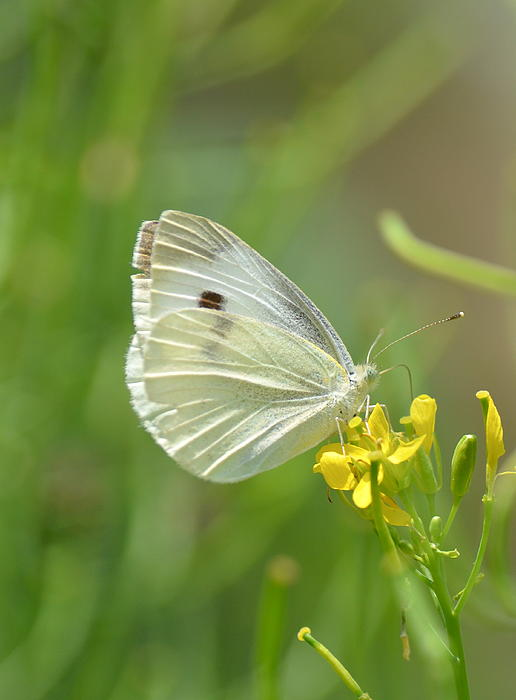 Kathy Gibbons - Cabbage White