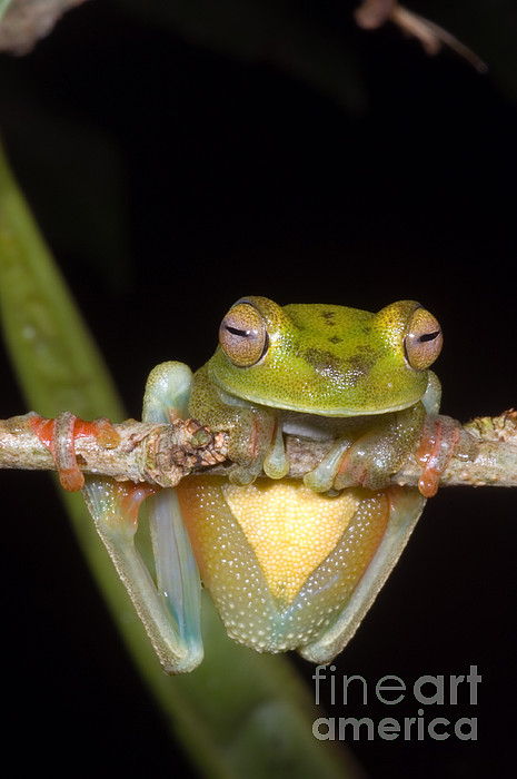 Hyla Photograph - Canal Zone Tree Frog by Dante Fenolio