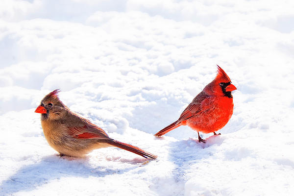 Cardinal Couple Photograph  - Cardinal Couple Fine Art Print