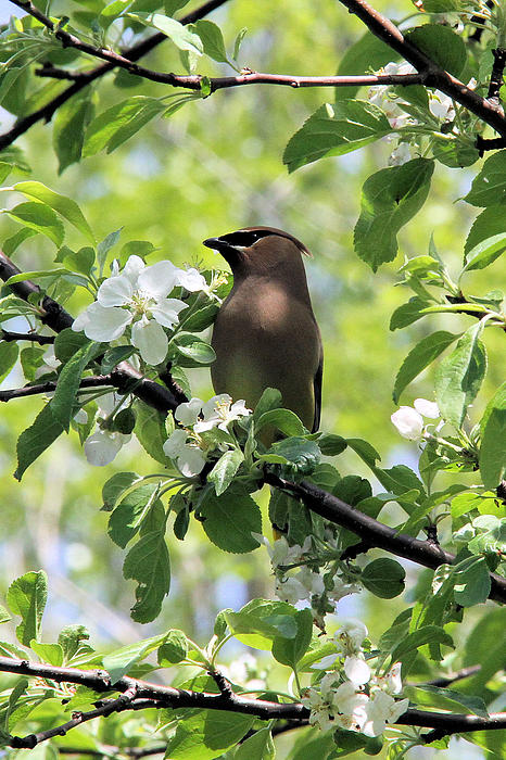 Doris Potter - Cedar Waxwing among Apple Blossoms