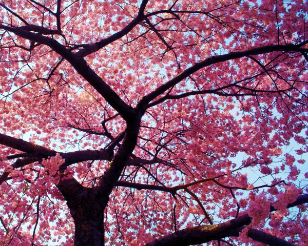 cherry tree pictures. Cherry Tree Photograph