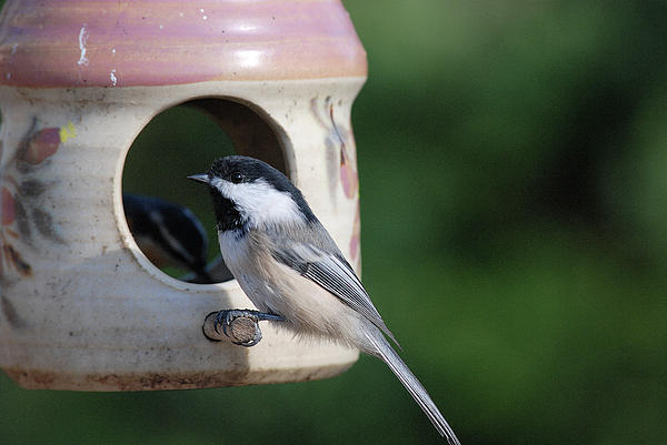 Chickadee Posing At Feeder Photograph  - Chickadee Posing At Feeder Fine Art Print