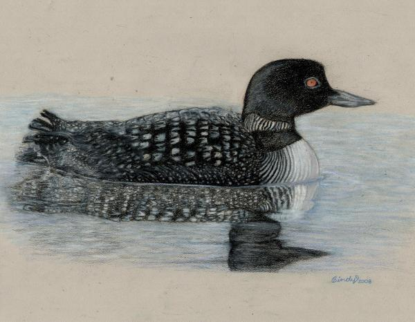 common loon winter. Common Loon Drawing - Common