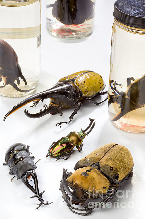 Animal Photograph - Confiscated Beetles by Science Source