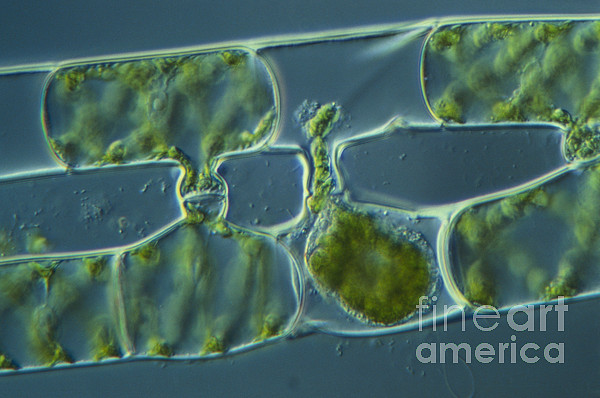 Science Photograph - Conjugation In Spirogyra Algae, Lm 3 by M. I. Walker
