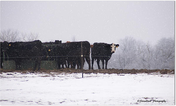 Cows in Snow Storm Photograph - Cows in Snow Storm Fine Art Print