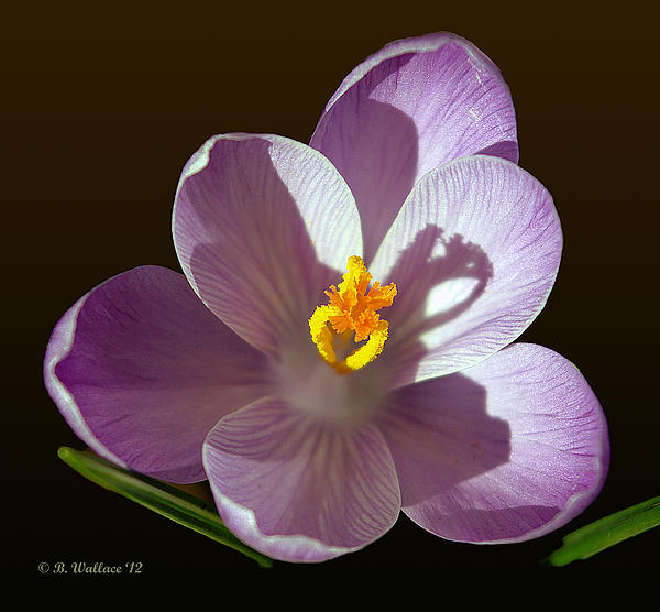 Crocus In Full Bloom Photograph  - Crocus In Full Bloom Fine Art Print