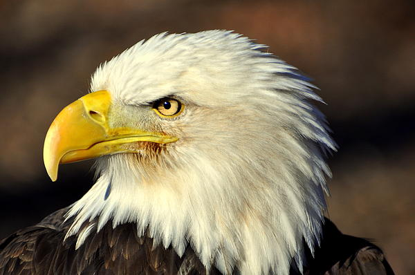Fall Eagle 6 Photograph  - Fall Eagle 6 Fine Art Print
