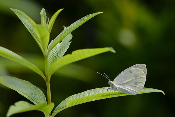 Kathy Gibbons - Female Cabbage White