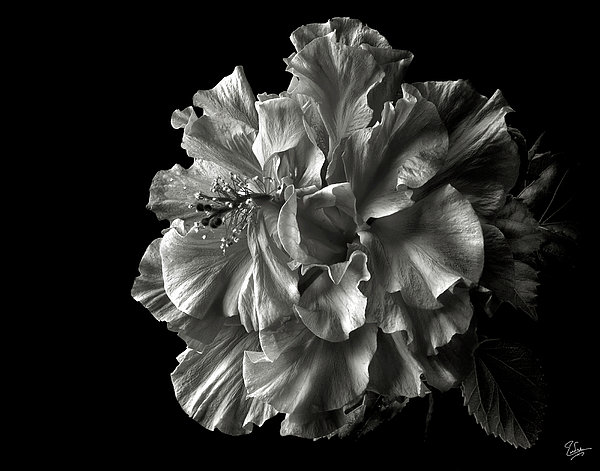 Fluffy Hibiscus In Black And White Photograph  - Fluffy Hibiscus In Black And White Fine Art Print
