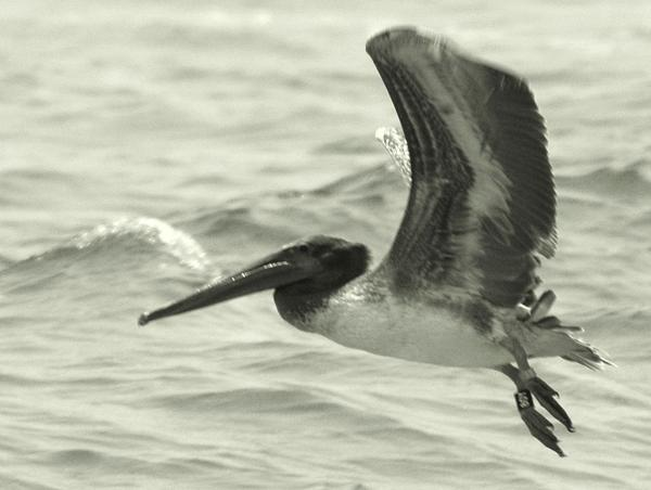 Flying Pelican in Black and White Photograph - Flying Pelican in Black and