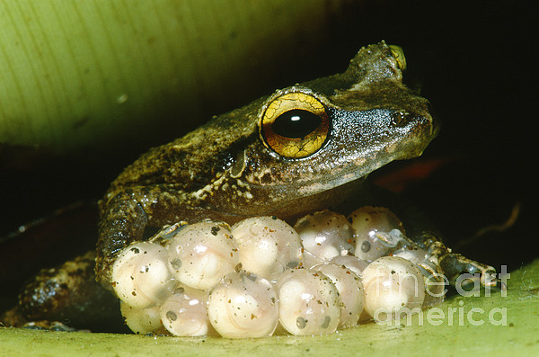 Mountain Coqui Photograph - Frog Guarding His Eggs by Dante Fenolio