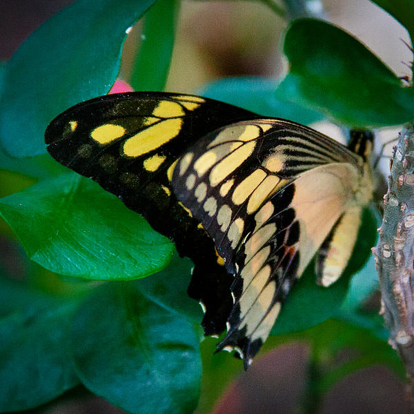 David Patterson - Giant Swallowtail