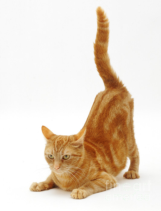 White Background Photograph - Ginger Cat by Jane Burton