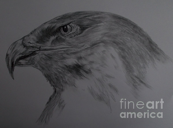 Cynthia Adams - Golden Eagle Sketch