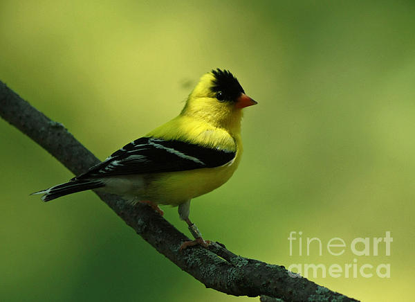 Inspired Nature Photography By Shelley Myke - Golden Moments - American Goldfinch