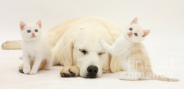 Nature Photograph - Golden Retriever With Two Kittens by Mark Taylor