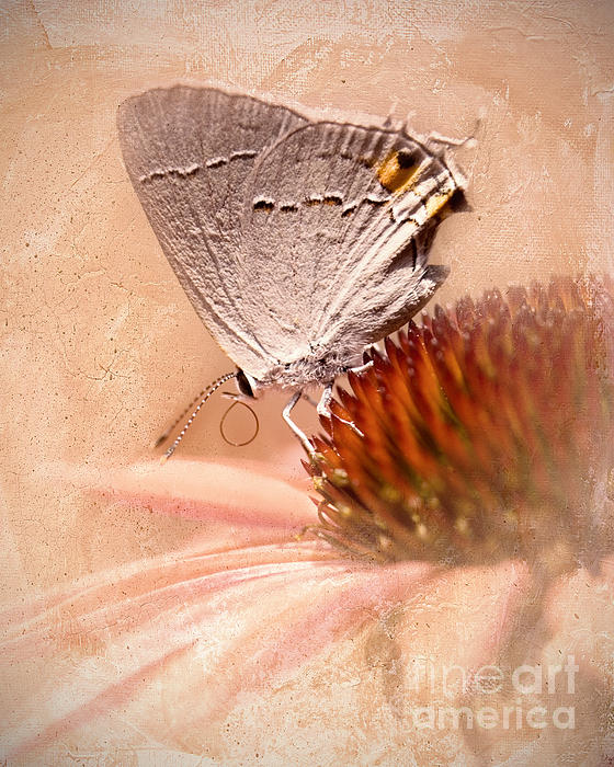 Betty LaRue - Gray Hairstreak Butterfly