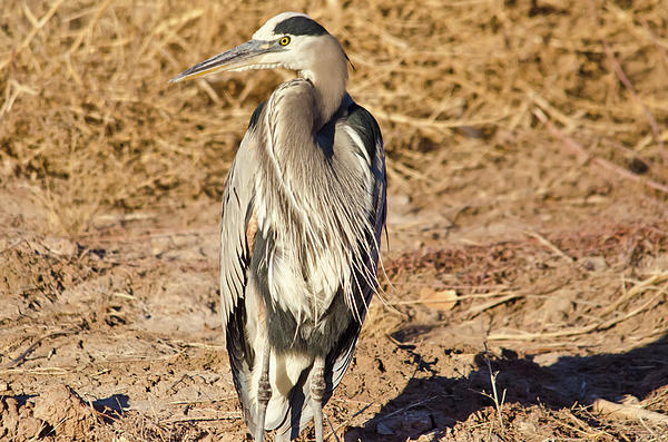 Great Blue Heron 1 Photograph  - Great Blue Heron 1 Fine Art Print