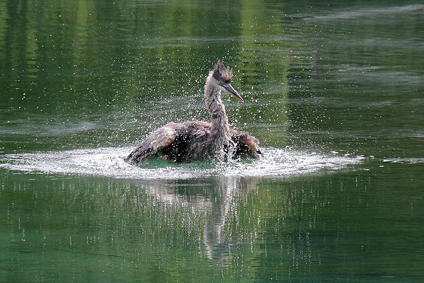 Doris Potter - Great Blue Heron having a bath