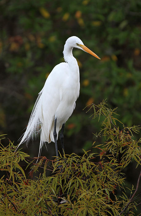 Juergen Roth - Great White Heron near Everglades NP