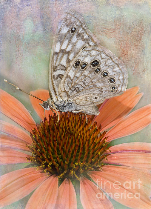 Betty LaRue - Hackberry Emplorer Butterfly