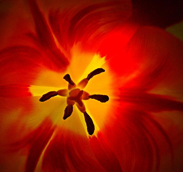Nick Kloepping - Heart of a Tulip Macro