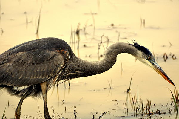 Heron Fishing Photograph  - Heron Fishing Fine Art Print