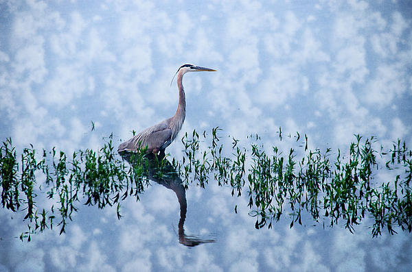 Crystal Wightman - Heron waiting for lunch