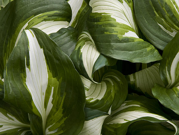Michael Friedman - Hosta Swirl
