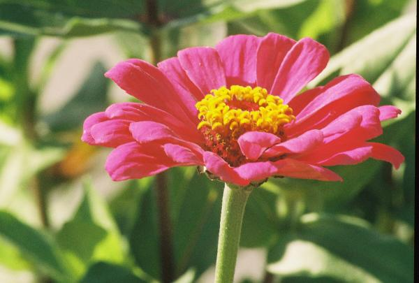 Hot Pink Flower in Frankemuth Michigan Photograph - Hot Pink Flower in