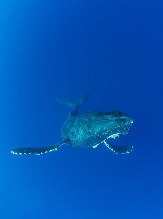 whale pictures underwater. Humpback Whale Underwater