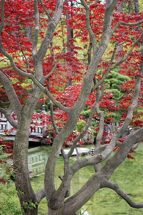 japanese maple tree. Japanese Maple Tree and Pond