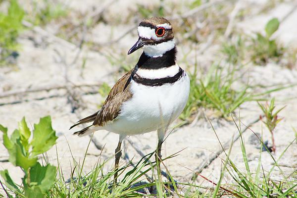 Klassic Killdeer Photograph