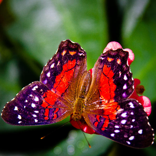 David Patterson - Lacewing Butterfly