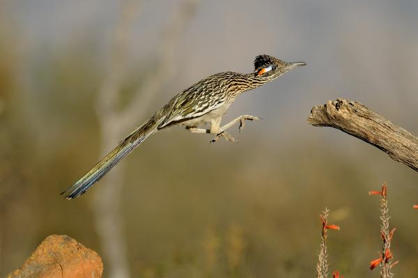 http://fineartamerica.com/images-medium/leaping-roadrunner-scott-linstead.jpg