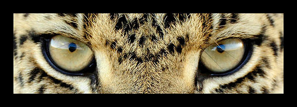 Leopard Eyes Photograph