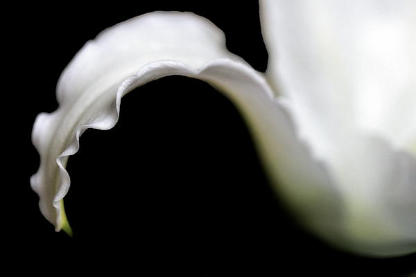 Angela Rath - Lily Petal From a Side View