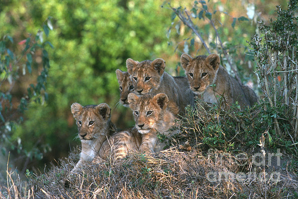 Sandra Bronstein - Lion Cubs Awaiting Mom