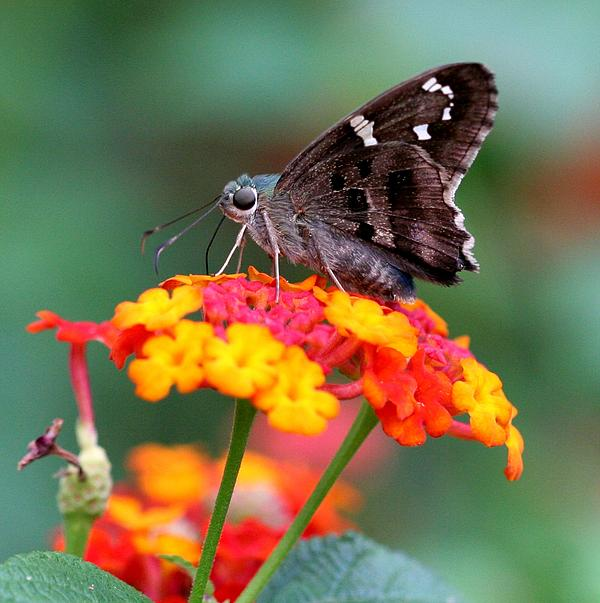 April Wietrecki - Long-Tailed Skipper on Lantana