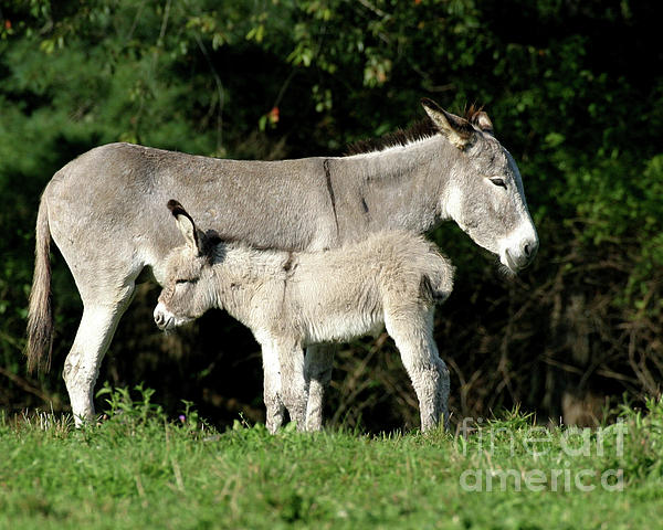 Mama Donkey And Baby Photograph  - Mama Donkey And Baby Fine Art Print